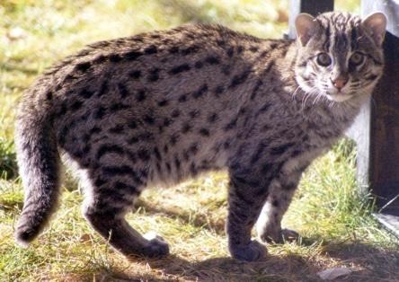 chat pêcheur