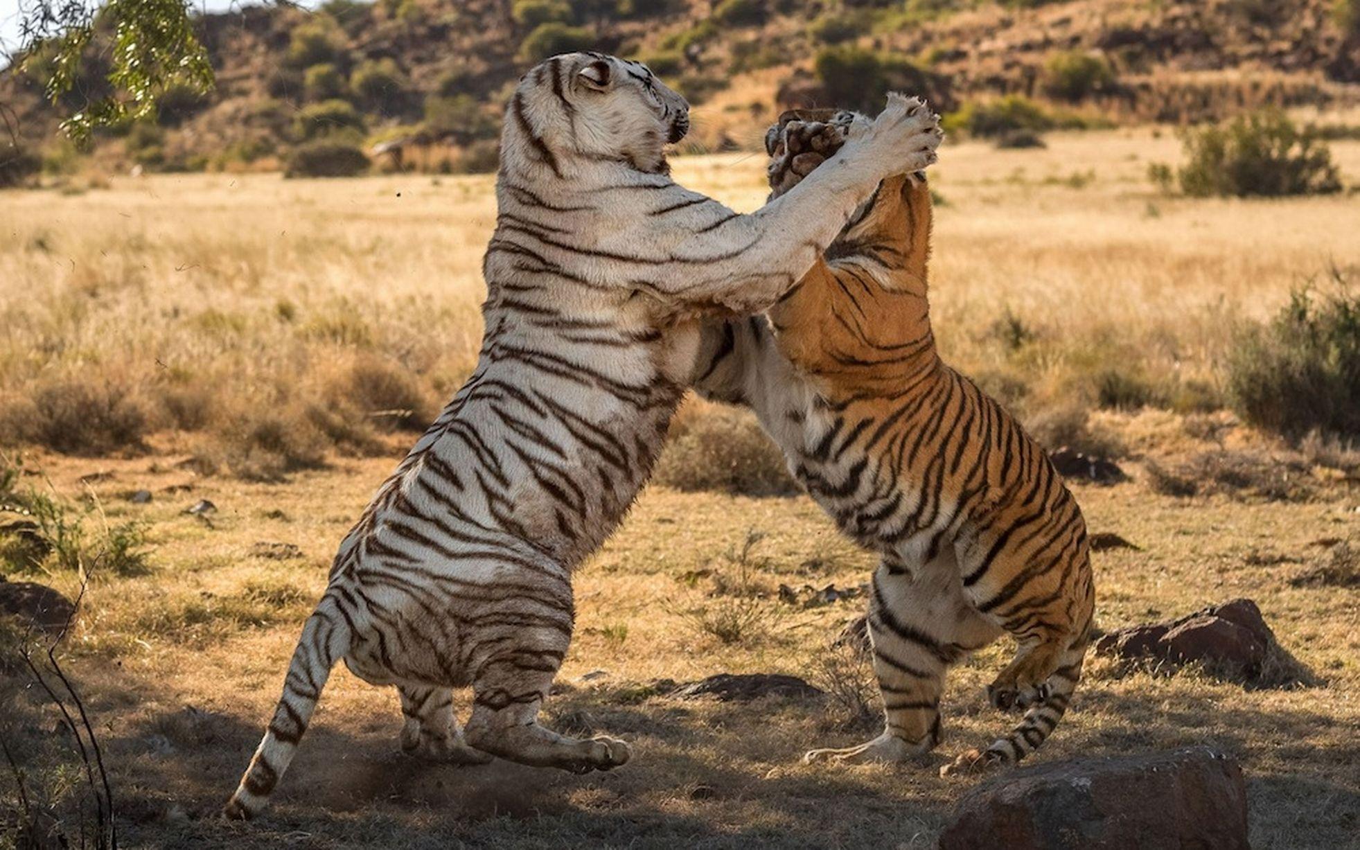 Magnifiques images d'une altercation entre deux tigresses.