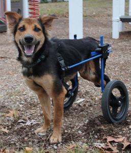 Leo , chien sauvé par une canadienne en Thaïlande 4