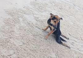 Leo , chien sauvé par une canadienne en Thaïlande 1