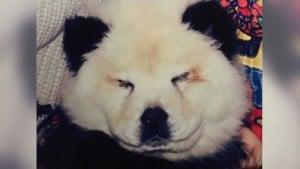 chow-chow_en_panda