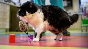 Un jeune chat doté de pattes artificielles après un accident. 1