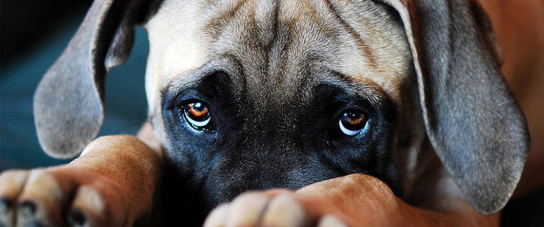 chien-regard-culpabilite