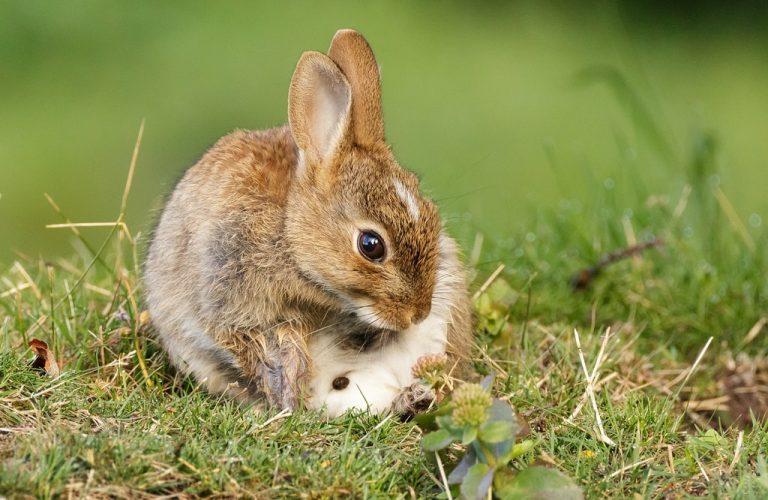 Pourquoi les lapins mangent-ils certains de leurs excréments? ( lapins caecotrophes)