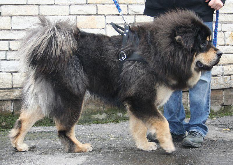 dogue -du-tibet