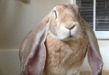 lapin-adoption
