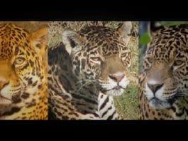 guepard-jaguar