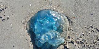 meduse-plage-du-nord