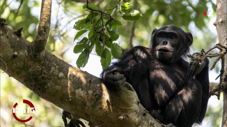 Les néonicotinoïdes pourraient être responsables de malformations chez un tiers des chimpanzés en Ouganda