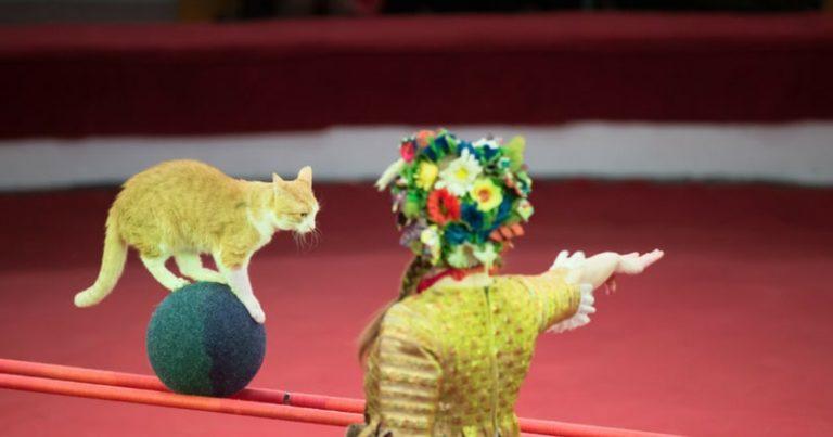 Des chats dans des cirques pour remplacer les fauves : la vidéo qui dénonce – Cause animale