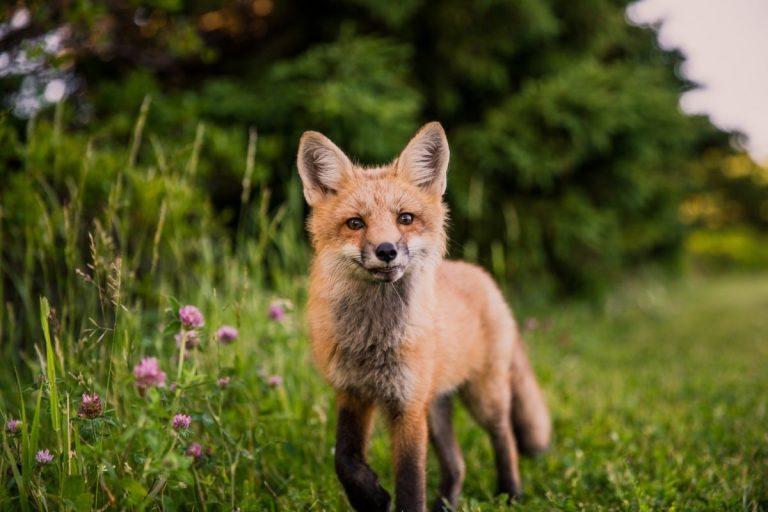 La destruction des renards : un enjeu de santé publique