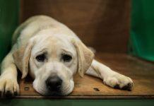 arthrose-chez-le-chien