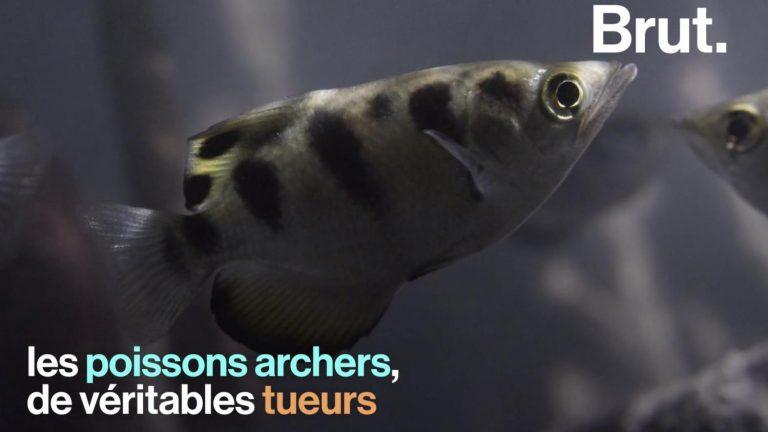 La technique de chasse insolite des poissons-archers !