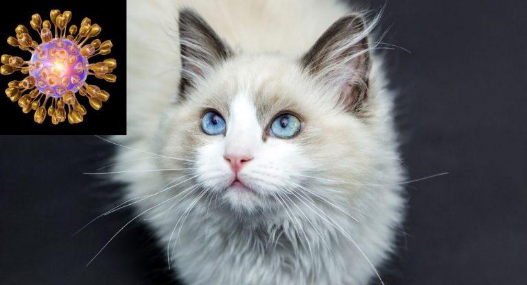Les chats peuvent-ils transmettre un nouveau coronavirus (COVID-19) aux humains?