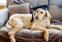 chiens sont-ils-intelligents
